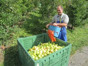 Figura 16 - Recolección de manzanas en las terrazas de Juval