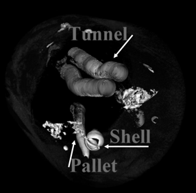 Figure 6. Computer tomography image of hard wood (alder) showing the shipworm inside the wood. Note the shell (arrows), burrow, and pallets.