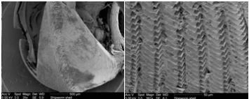 Figure 4. (Left) SEM micrograph of shipworm shell, magnification 36x. (Right) Micrograph of shell surface, magnification 561x, notice the toothed surface texture, the shell is used primarily for burrowing into wood.